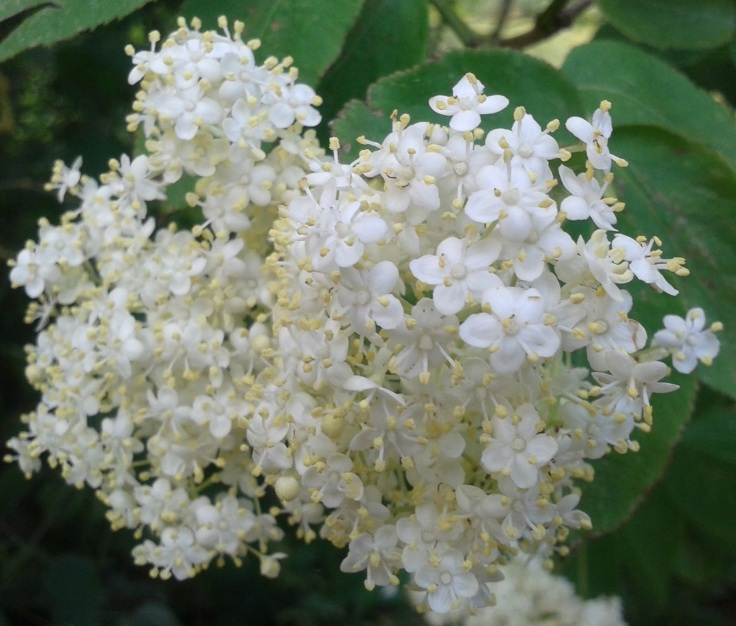 Elderflower 2